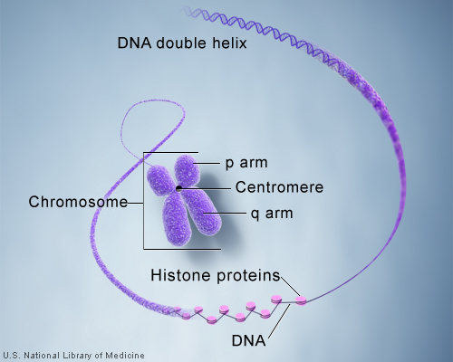 DNA and histone proteins are packaged into structures called chromosomes.