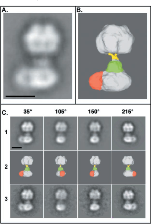 """FIG. 4. A and B, projection and isosurface views at 35° of the final three-dimensional model of the reconstructed mitochondrial ATP synthasome. The most obvious structural features of the final model are an """"oblong"""" basepiece consisting of two domains (white and red), a central mass or collar (green) surrounding the connecting stalk (yellow) just above the basepiece, and, finally, a near spherical headpiece. The scale bar equals 100 Å. C, a gallery of different views of the final model. Views are presented at the different angles shown at the top, with row 1 depicting projection views, row 2 depicting isosurface views contoured at 3 by the program """"Chimera"""" (36), and row 3 depicting class averages of raw images. The scale bar equals 100 Å."""