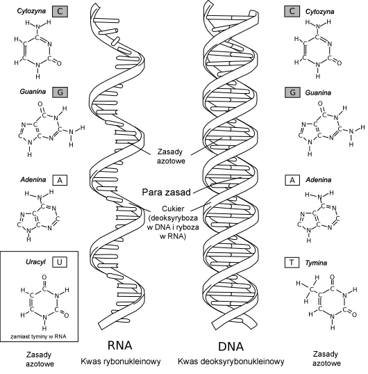 https://upload.wikimedia.org/wikipedia/commons/a/a6/Por%C3%B3wnanie_DNA_i_RNA.png