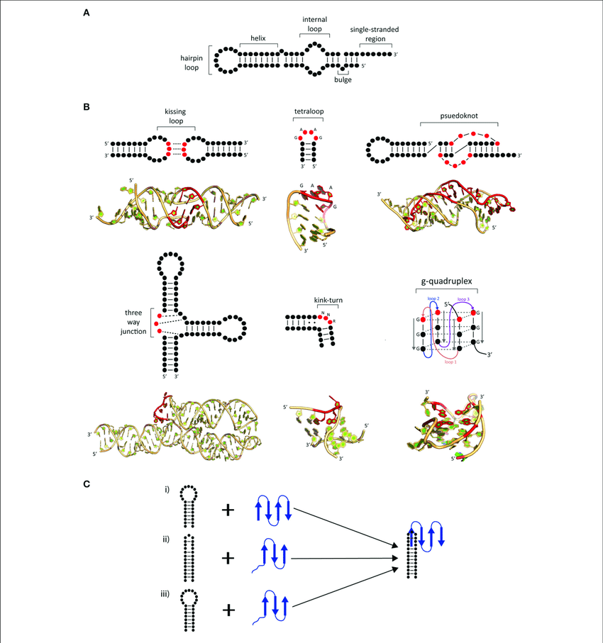 | Common secondary and tertiary motifs of RNA and RNA conformational changes in RNP complexes. (A) 2-D representations of common RNA secondary motifs, (B) 2-D representations of common RNA secondary and tertiary structural motifs with 3-D examples of crystal structures. A kissing loop structure from HIV-1 dimerization (PDB: 1K9W; Ennifar et al., 2001). A GAAG tetraloop from SRP RNA (PDB: 2F87; Okada et al., 2006). A telomerase pseudoknot (PDB: 2K96; Kim et al., 2008). A three-way junction 7S RNA (PDB: 1MFQ; Kuglstatter et al., 2002). A kink-turn found from SAM-I riboswitch (PDB: 3IQN; Stoddard et al., 2010) and g quadruplex site from telomeric RNA (PDB: 31BK; Collie et al., 2010). Highlighted bases (red) show characteristic features of these RNA tertiary structures. (C) Possible mechanisms of induced fit (i-iii) and conformational capture (i-ii). The RNA (black) and protein (blue) form a complex by either (i) protein-induced RNA folding, (ii) RNA-induced protein folding, or (iii) mutual folding of the RNA and protein.