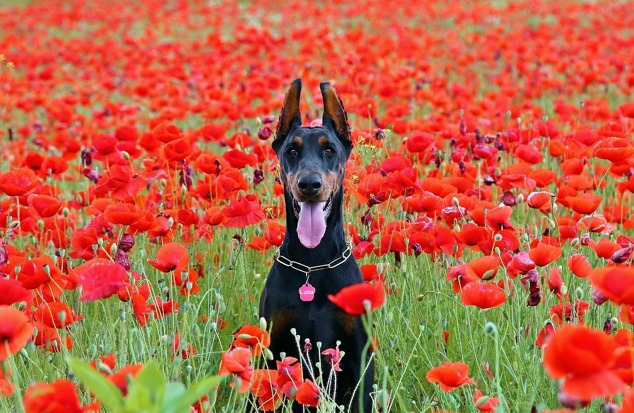 Obraz zawierający trawa, pies, pole, leżące Opis wygenerowany automatycznie