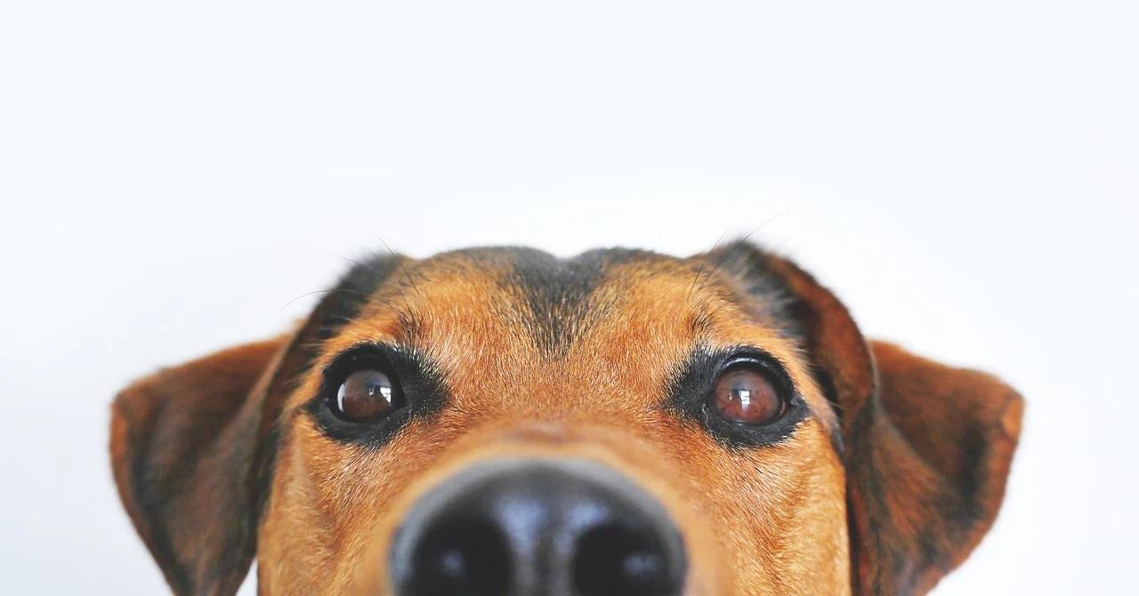 Obraz zawierający pies, brązowy, patrzenie, siedzi Opis wygenerowany automatycznie