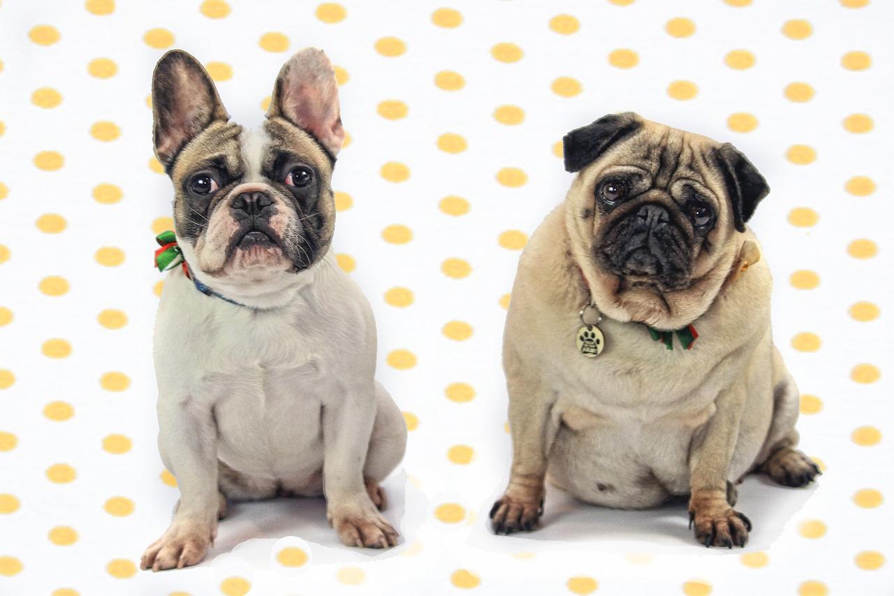 Obraz zawierający pies, małe, wewnątrz, siedzi Opis wygenerowany automatycznie