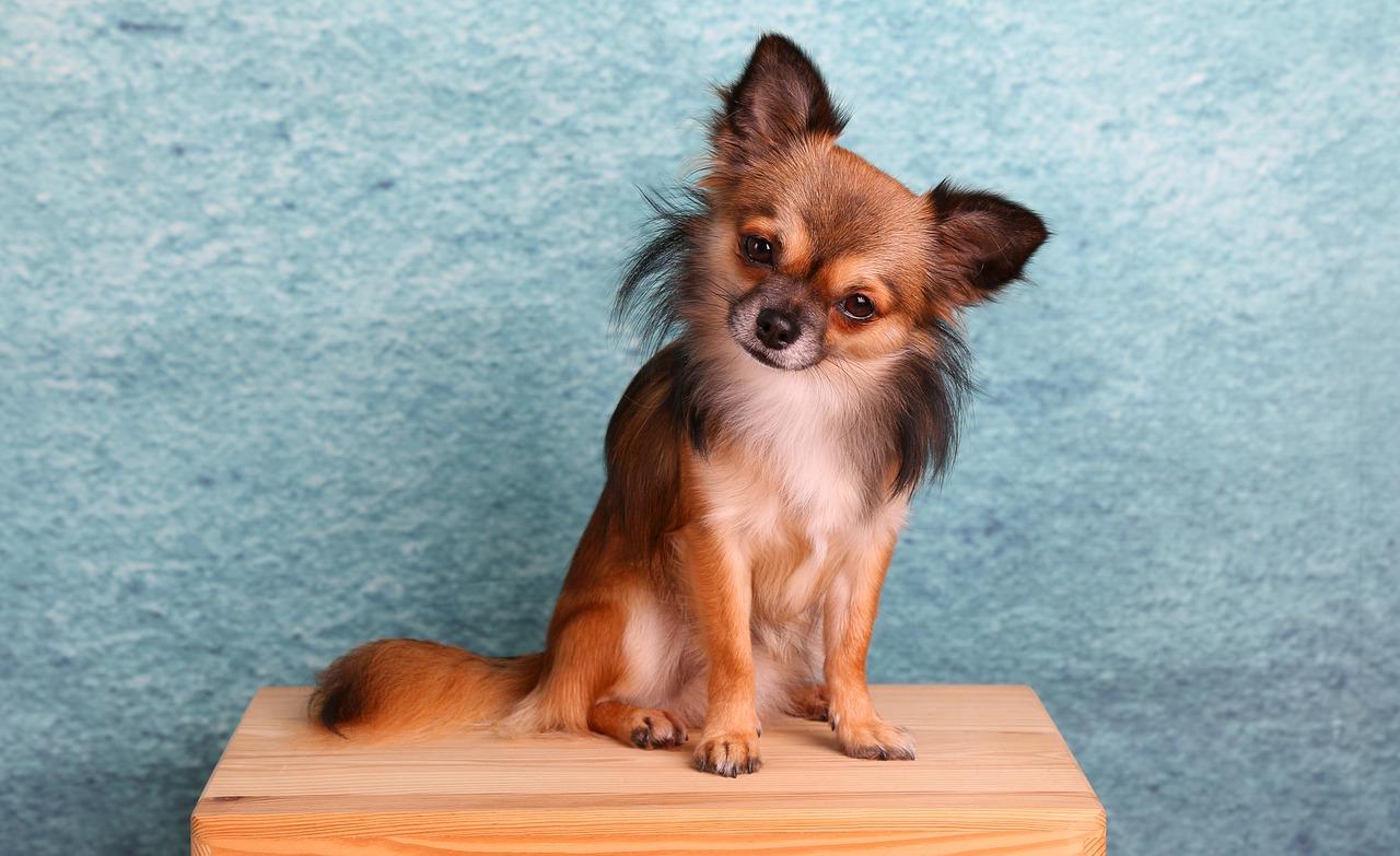 Obraz zawierający pies, siedzi, stół, małe Opis wygenerowany automatycznie